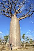 Man in front of the trunk of a Baobab (Adansonia grandidieri), Dry forest, Madagascar