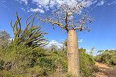 Octopus tree (Didierea madagascariensis) and Baobab (Adansonia rubrostipa), deciduous forest, Assassins Bay, southwestern coast of Madagascar