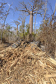Baobab (Adansonia grandidieri), Forêt sèche décidue de Kirindy Mitea, Madagascar