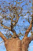 Baobab (Adansonia rubrostipa) and its fruit, Ifaty region, Madagascar