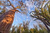 Baobab (Adansonia rubrostipa) in dry forest, Region of Ifaty, Madagascar