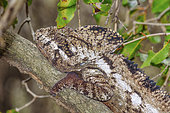 Caméléon d'Oustalet (Furcifer oustaleti) en semi hibernation, Forêt sèche décidue du sud malgache , Parc National de Zombitse Vohibasia, Madagascar