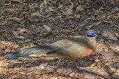 Coua géant (Coua gigas), Foret sèche décidue du sud malgache Parc National de Zombitse Vohibasia - Madagascar