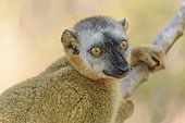 Portrait of Red-fronted Brown Lemur (Eulemur rufifrons), Dry deciduous forest in Western Madagascar, Kirindy Forest Reserve, Madagascar