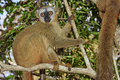 Red-fronted Brown Lemur (Eulemur rufifrons) on a branch, Dry deciduous forest in Western Madagascar, Kirindy Forest Reserve, Madagascar
