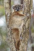 Hubbard's sportive lemur (Lepilemur hubbardorum) on its daytime resting spot, Zombitse Vohibasia National Park, Madagascar
