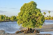 Spurred mangrove (Ceriops tagal), Mangrove of Belo sur Mer, south of Morondava, Southwestern coast of Madagascar
