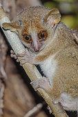 Microcèbe mignon (Microcebus murinus) dans la foret sèche décidue de l'ouest malgache. Réserve de Kirindy Forest, Madagascar