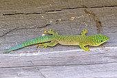 Banded Day Gecko (Phelsuma standingi), Zombitse-Vohibasia National Park, Madagascar