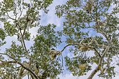 Propithèques de Verreaux (Propithecus verreauxi) dans la foret sèche décidue de l'ouest malgache, Réserve de Kirindy Forest, Madagascar