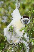Propithèque de Verreaux (Propithecus verreauxi) mangeant dans la foret sèche décidue du Sud malgache, Parc National de Zombitse Vohibasia - Madagascar