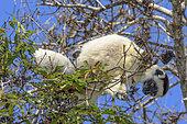 Propithèque de Verreaux (Propithecus verreauxi) mangeant dans la foret sèche décidue de l'ouest malgache, Réserve de Kirindy Forest, Madagascar