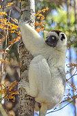 Propithèque de Verreaux (Propithecus verreauxi) dans la foret sèche décidue de l'ouest malgache, Réserve de Kirindy Forest, Madagascar