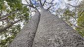 Baobab (Adansonia za), Zombitse Reserve, Madagascar