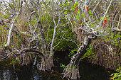 American Anhinga (Anhinga anhinga), Everglades National Park, Florida