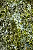 Cicada on moss and lichen, Kinabalu, Borneo, Malaysia