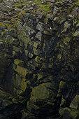 Northern Fulmar (Fulmarus glacialis) on cliff, Shetland Islands, Scotland