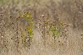 European Goldfinch (Carduelis carduelis) eating in a meadow