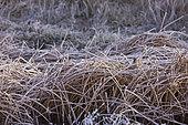 Eurasian tree sparrow (Passer montanus)in winter, Laguna of Gallocanta, Aragon, Spain