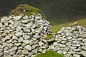 Northern Fulmar (Fulmarus glacialis) nesting, Village Bay, St Kilda, Outer Hebrides. Scotland, UK