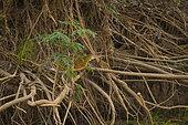 Onoré rayé (Tigrisoma lineatum) sur racines, Pantanal, Brésil