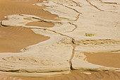 Namaqua Chameleon (Chamaeleo namaquensis), Namib desert, Namibia