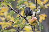 Etourneau Sansonnet ( Sturnus vulgaris) dans pommier en automne, Auvergne, France