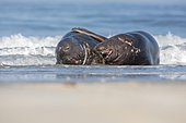 Grey Seals (Halichoerus grypus) young males playing on the beach, Wadden Sea, UNESCO World Heritage Site, North Sea, Heligoland, Schleswig-Holstein, Germany, Europe