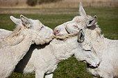White donkeys grooming each other, Lake Neusiedl National Park, Burgenland, Austria, Europe