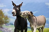 Donkeys, half-breeds, playing together, North Tyrol, Austria, Europe
