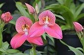 Disa orchid hybrid (Disa), Berggarten, Herrenhausen, Hanover, Lower Saxony, Germany, Europe