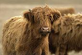 New Zealand Highland cow, South Island, New Zealand