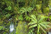 Forêt tempérée humide, Ile du Sud, Nouvelle Zélande