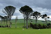 Moutons broutant au pré, Ile du Sud, Nouvelle Zélande