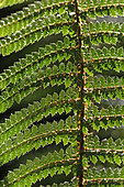 Fern, Temperate rainforest, South Island, New Zeland