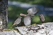 Black Redstart (Phoenicurus ochruros) chicks, Doubs, Franche-Comté, France