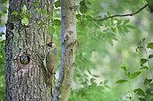 Pic vert (Picus viridis) au nourrissage sur un Aulne glutineux (Alnus glutinosa), Territoire de Belfrot, Franche-Comté, France