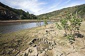 Footprints of Pyrenean brown bear (Ursus arctos pyrenaicus) on the bank, Palencia, Spain