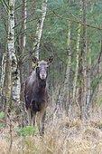 Moose (Alces alces) female, Europe