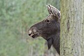 Moose (Alces alces) female behind tree, Europe