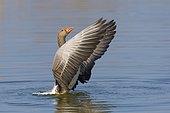 Greylag goose (Anser anser), Hesse, Germany, Europe