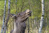 European Moose (Alces alces) feeding, Germany, Europe