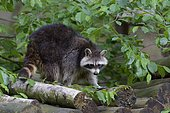 Raccoon, Procyon lotor, Hesse, Germany, Europe
