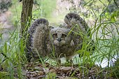 Young Eagle Owl (Bubo Bubo), Hesse, Germany, Europe