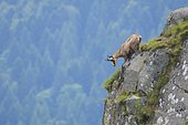 Portrait of Chamois (Rupicapra rupicapra) on cliff, Hohneck, Vosges, Alsace, France, Europe