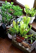 Ambiance of carnivorous plants in pot