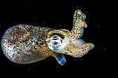 Dwarf bobtail squid (Sepiola rondeletii), Etang de Thau, Bouzigues, Hérault, Occitania, France