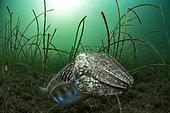 Common cuttlefish (Sepia officinalis) in the Etang de Thau, Balaruc, Hérault, Occitanie, France