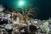 Sea cucumber (Ocnus planci), Balaruc, Etang de Thau, Hérault, Occitanie, France