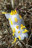 Sea Slug (Polycera quadrilineata), Balaruc, Etang de Thau, Hérault, Occitania, France
